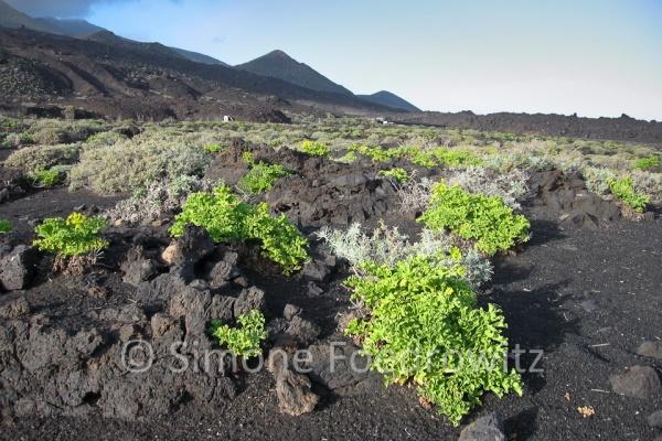 Grüne Pflanzen auf Lavaboden