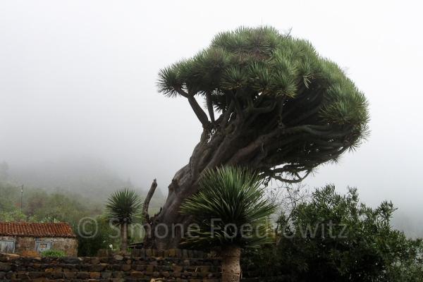 Drachenbaum im Wolkennebel