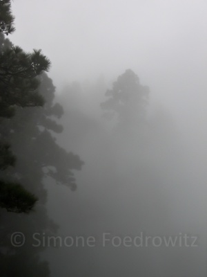 Kiefern im Wolkennebel