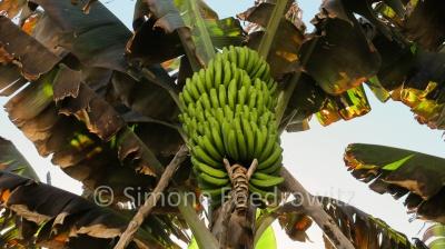 Eine Bananenstaude mit grünen Bananen