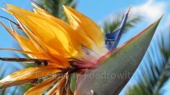 Eine orange-blaue Strelitzienblüte