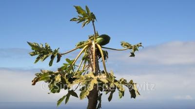 Ein Papayabaum vor blauem Himmel