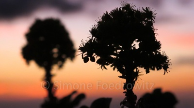Zwei Blüten als Silhouetten vor einem Sonnenuntergang