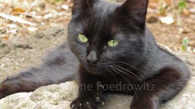 Eine schwarze Katze mit grünen Augen blickt in die Kamera