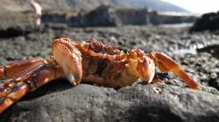 Eine orangerote Krabbe am schwarzen Steinstrand