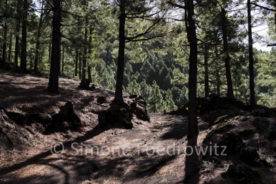 Waldweg durck Kiefern