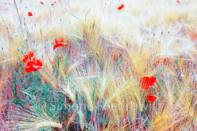 Mohnblumen im Kornfeld farbverändert