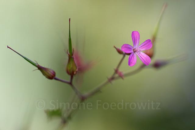 Blüte Ruprechtskraut