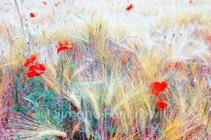 Farbverändertes Mohnblumenfeld