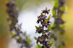 violett-grüner kerzenförmiger Blütenstand