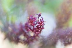 geschwungene violette Blütenrispe