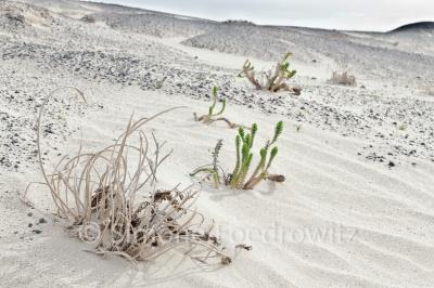 Pflanzen auf Düne