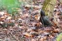 Starenvogel sucht Nistmaterial