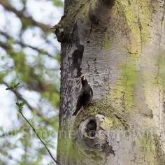 Starenvogel mit Nistmaterial am Astloch