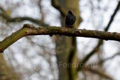 Starenvogel aufgeplustert auf einem Ast