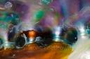 farbiges Innenleben eines Seeohr (Meereschnecke)