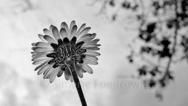 A-0075-bellis-perennis-schwarzweiss