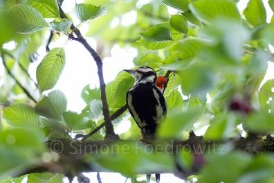 Buntspecht im Baum frisst Kirsche