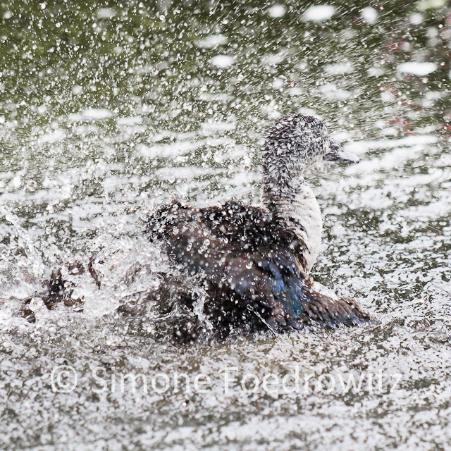 Badender Vogel mit zig weißen Wassertropfen