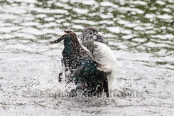 badende Ente