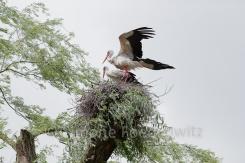 Weisstörche auf Nest