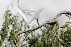 fliegender Kakadu