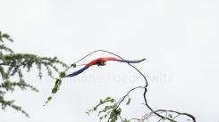 fliegender Ara