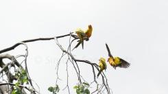 Sittche landen auf Zweigen