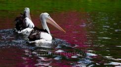 zwei Pelikane auf dem See