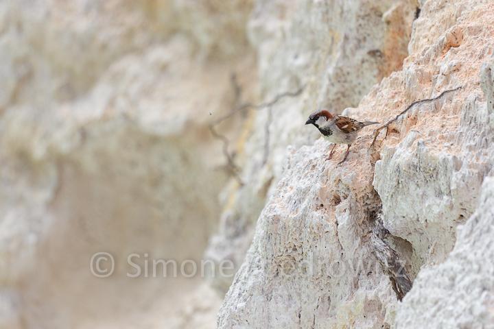 Spatz auf Felsen