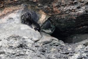 schwarzes Seehundbaby vor Felshöhle