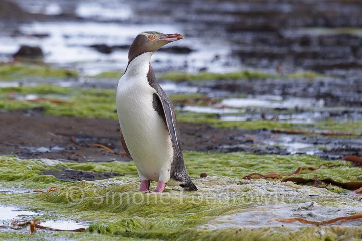 Pinguin auf Felsenboden