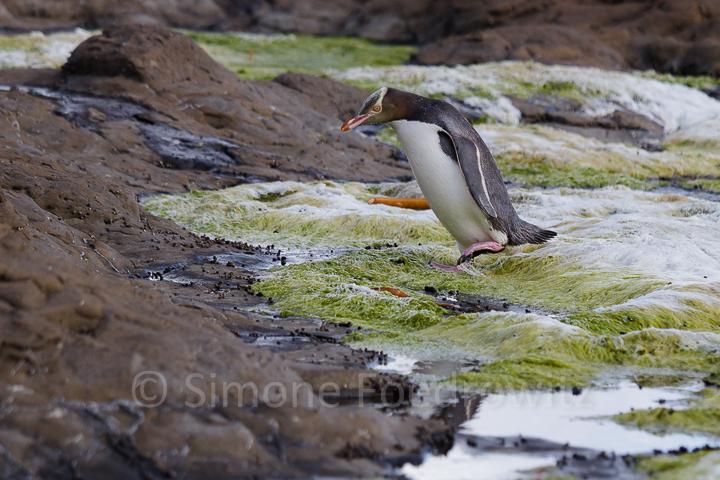 Pinguin watschelnd auf Felsenboden