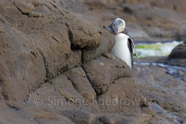 Pinguin lugt hinter einem Felsen hervor
