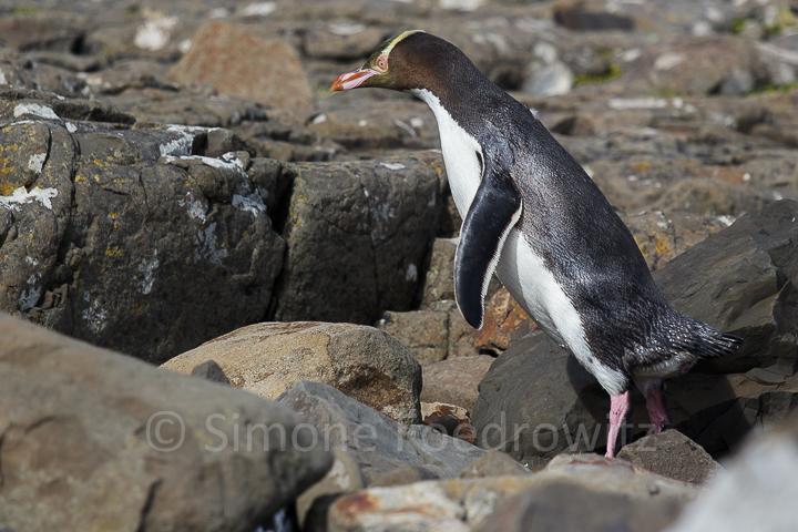 Pinguin springt