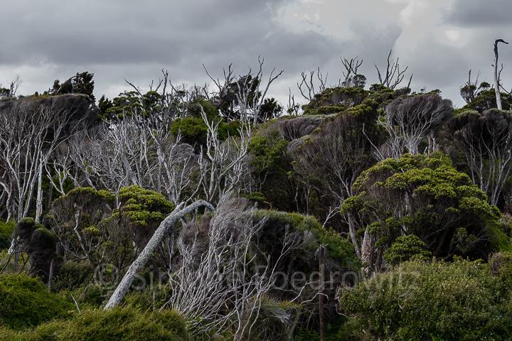 Macrocarpa Bäume
