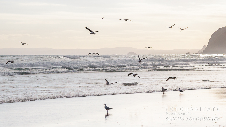 A-202-dunedin-beach-st-clair-hunting-gulls-new-zealand