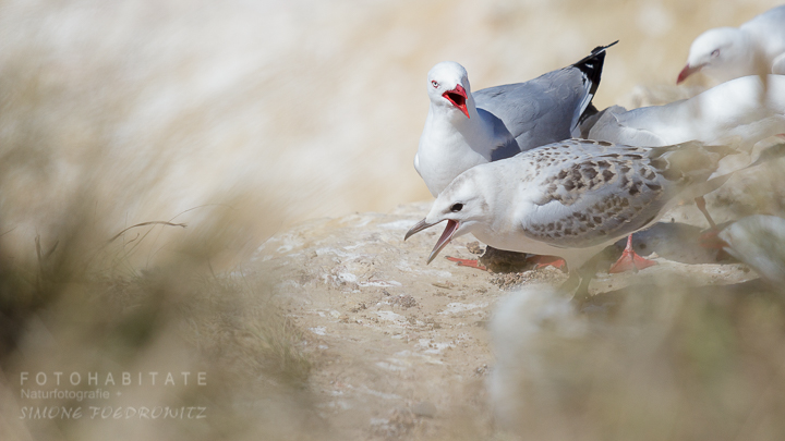 A-218-red-billed-gull-shag-point-new-zealand