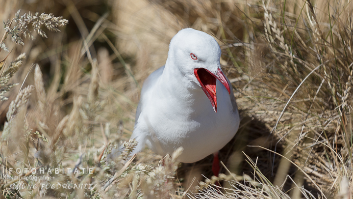 A-219-red-billed-gull-shag-point-new-zealand