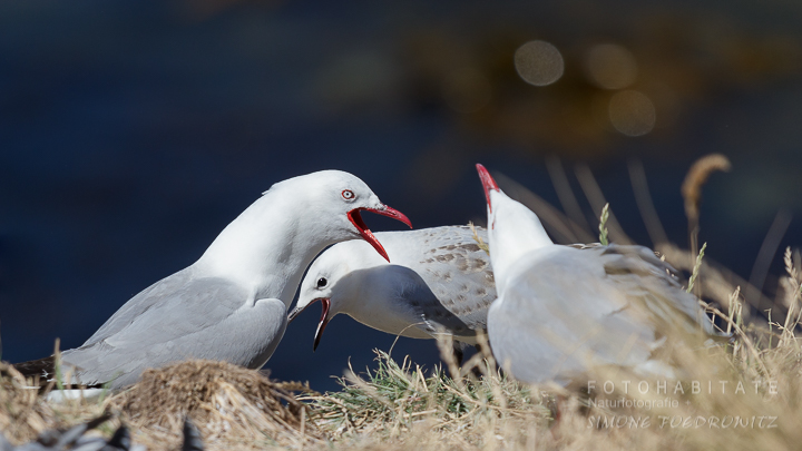 A-220-red-billed-gull-shag-point-new-zealand