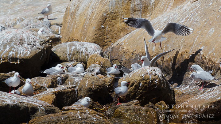 A-222-red-billed-gull-shag-point-new-zealand