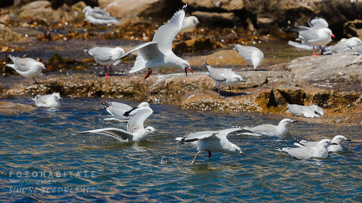 A-223-red-billed-gull-shag-point-new-zealand