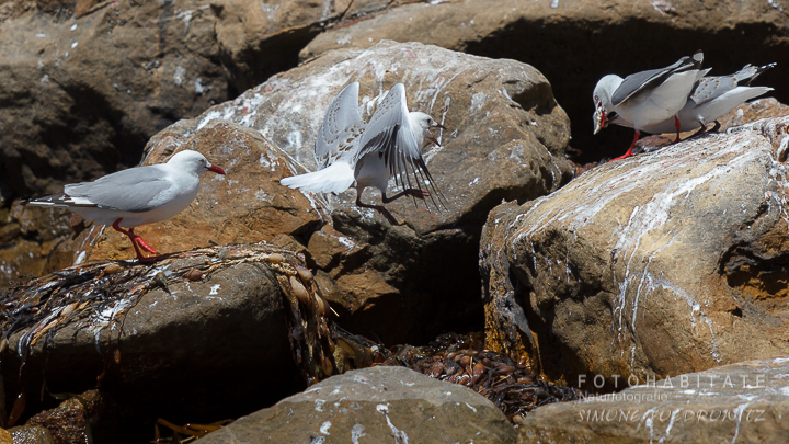 A-224-red-billed-gull-shag-point-new-zealand