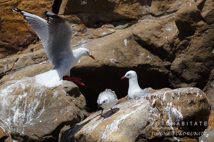 A-225-red-billed-gull-shag-point-new-zealand