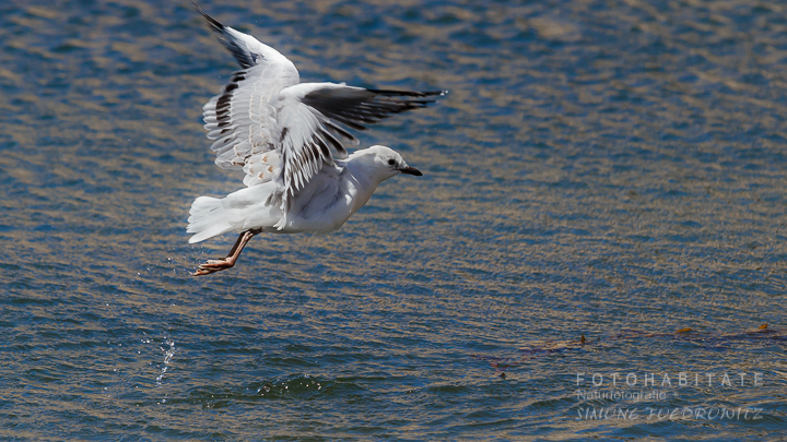 A-226-red-billed-gull-shag-point-new-zealand