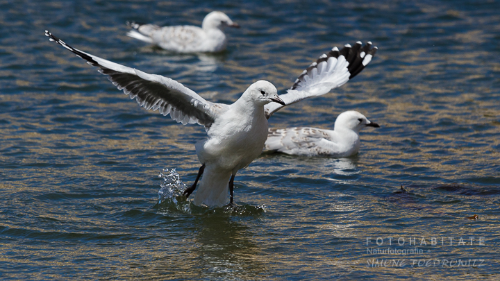 A-227-red-billed-gull-shag-point-new-zealand