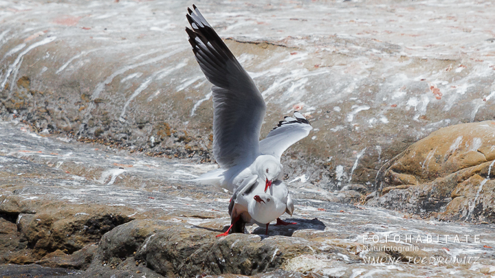 A-228-red-billed-gull-shag-point-new-zealand