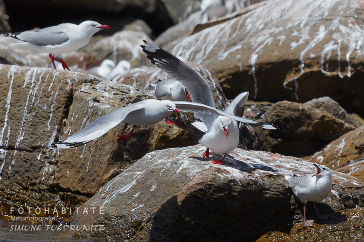 A-231-red-billed-gull-shag-point-new-zealand