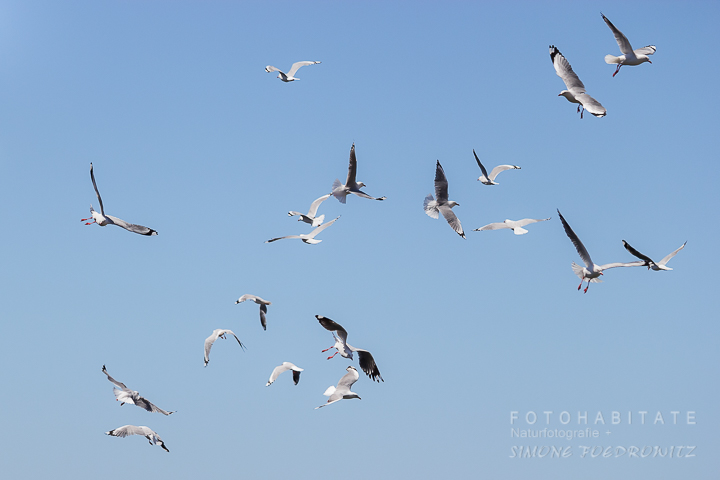 A-232-red-billed-gull-shag-point-new-zealand