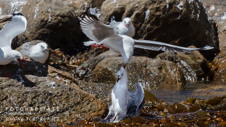 A-233-red-billed-gull-shag-point-new-zealand